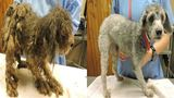 Over 50 poodles rescued from Marion County home now up for adoption