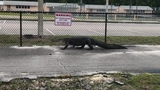 Raw video: 9-foot alligator spotted near school