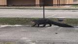 9-foot gator spotted at Deltona school captured