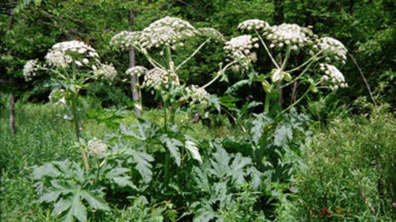 giant-hogweed-062018_1529512603842_12230044_ver1.0_1280_720 Don't touch: Giant plant causes blindness, third-degree burns