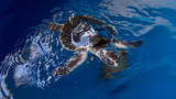 Critically endangered sea turtle rescued off coast of Florida