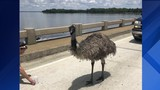 Emu causes traffic jam in Tavares