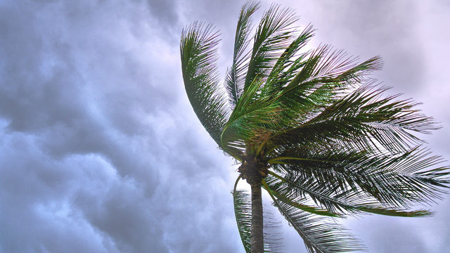 Iconic Florida palm trees threatened by invasive disease