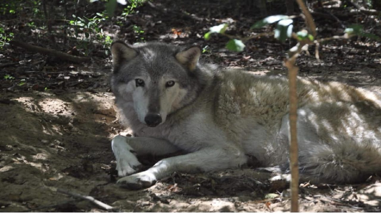 O Meara Ford >> Wolf missing after Hurricane Michael found in Florida