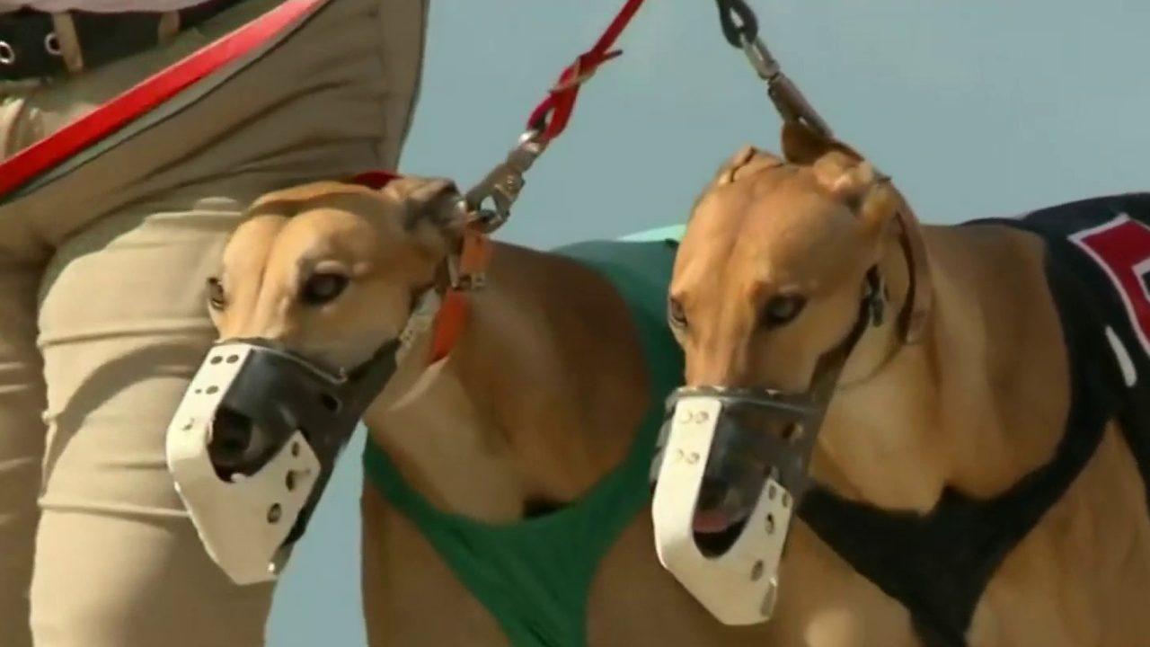 Melbourne Greyhound