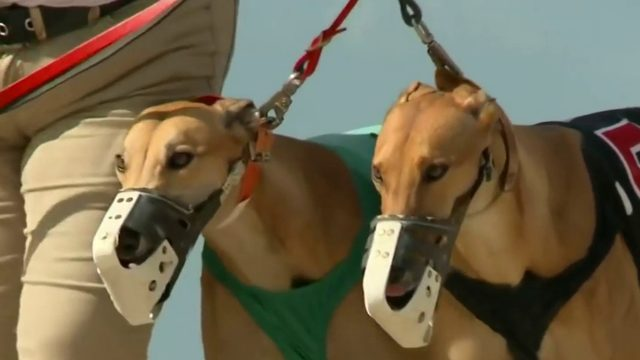 Daytona Dog Track >> Greyhound Racing In Daytona Beach To End In March