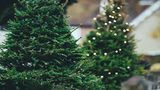 Stayin' Alive: How to keep your live Christmas tree healthy through the holidays
