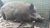 400-pound hog captured in Palm Bay near school bus stop