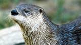 Aggressive otter killed after attacking multiple people in Orange&hellip&#x3b;