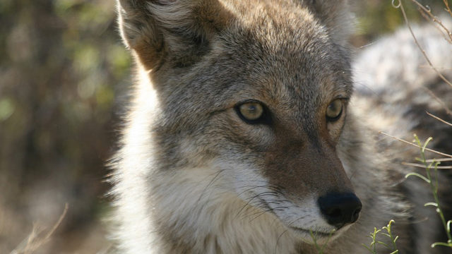 Residents warned after coyotes spotted in Ormond Beach