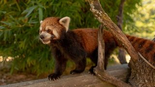 Highly endangered red pandas coming to Central Florida sanctuary