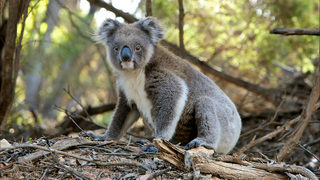 The internet is obsessed with this sexy koala