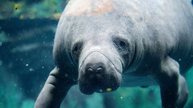Report: Manatee boat deaths on pace to set record in Florida