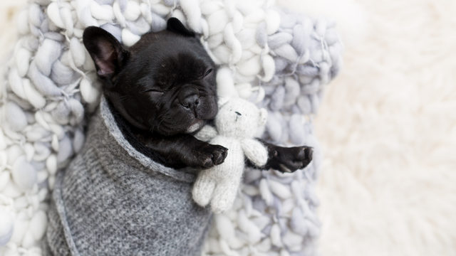 French bulldog puppy gets her very own 'newborn' photo shoot