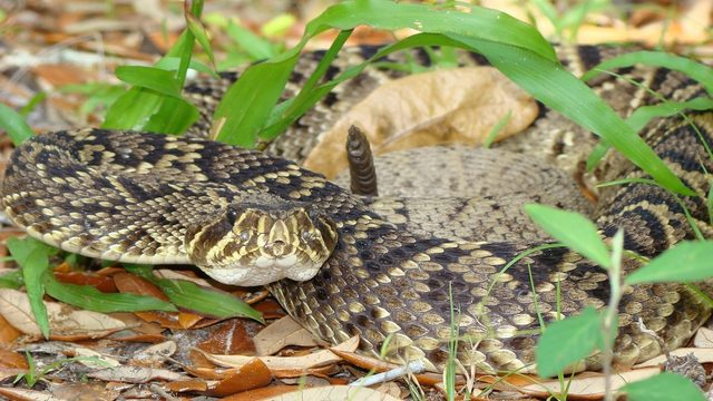 Harmless vs. venomous snakes in Florida: How to tell the difference