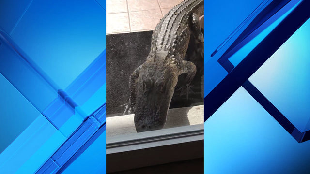 Aggressive gator bangs on glass door of woman's home in Flagler County