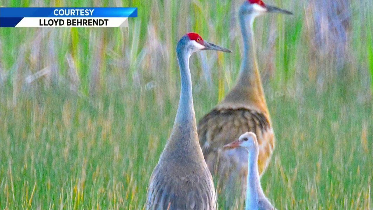 Drama In World Of Birds Sandhill Crane >> Advocates Push For More Sandhill Crane Protections In South