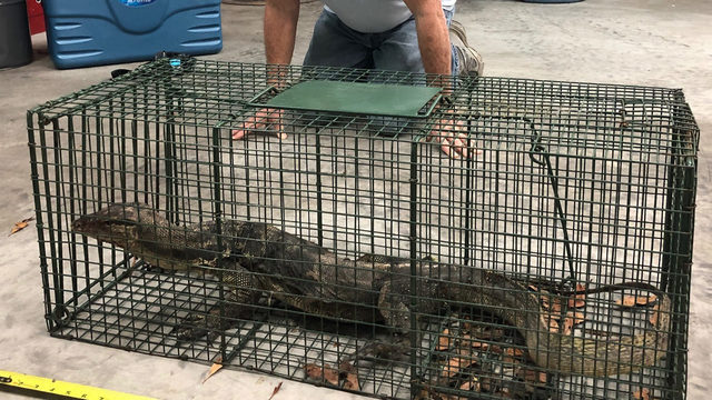 Freaky big Florida lizard finally captured after year on the lam