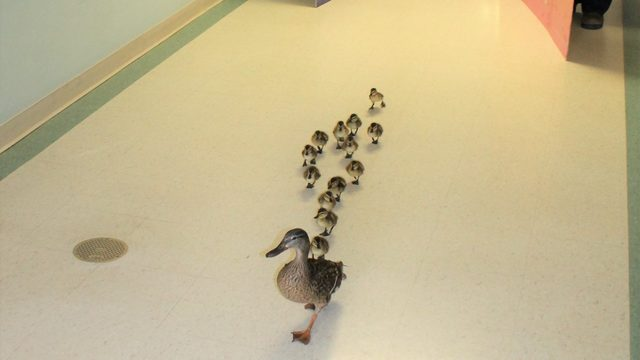 Mama duck proudly struts new babies through nursing home -- again