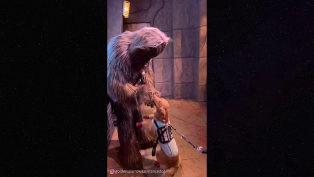 Service dogs meets Chewbacca.mp4