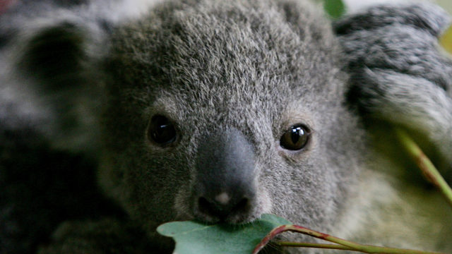 Will koalas go 'functionally extinct?' What does that mean, exactly?