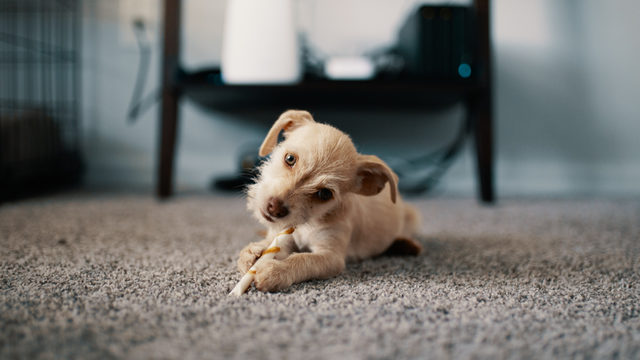 Your dog is likely better at listening than you think -- here's why