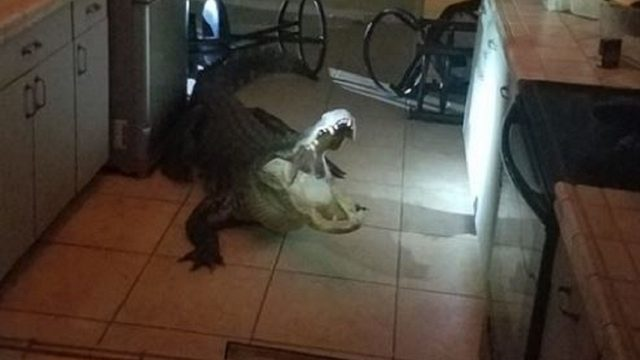 Whoa! 11-foot alligator shatters window, breaks into Florida home