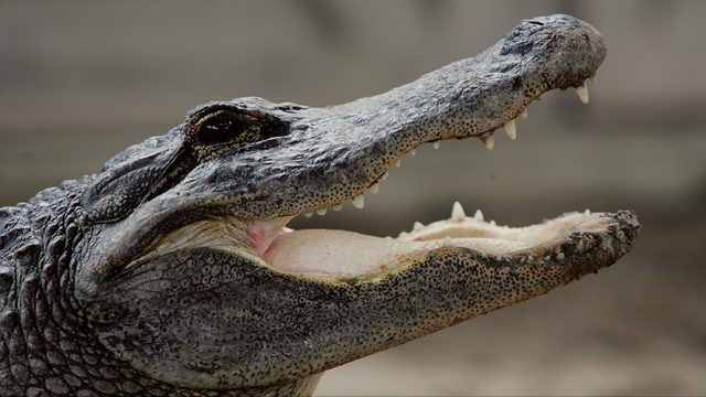 Alligator intrudes on Florida couple's picnic, steals their guacamole