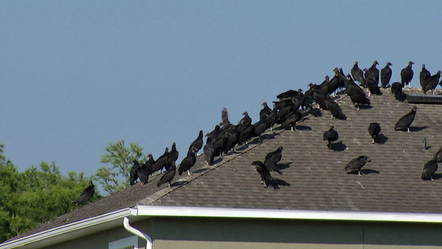 Vulture invasion damages homes, cars in East Orange County neighborhood