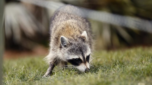 Rabid raccoon found in Osceola County