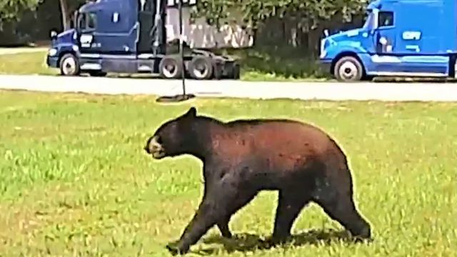 Bears starting to show up in Port St. John