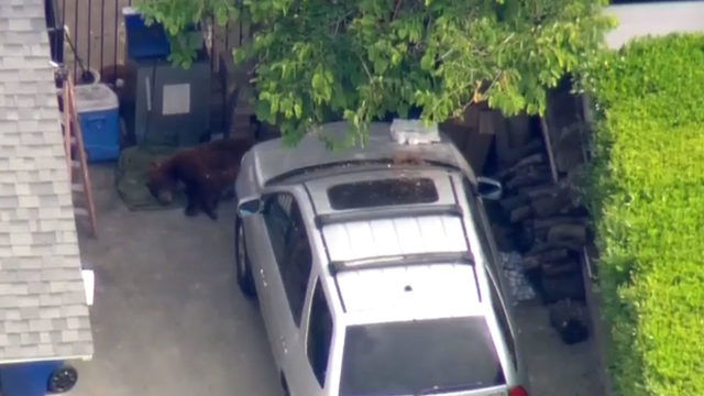 First responders on scene of bears in driveway of a home in California
