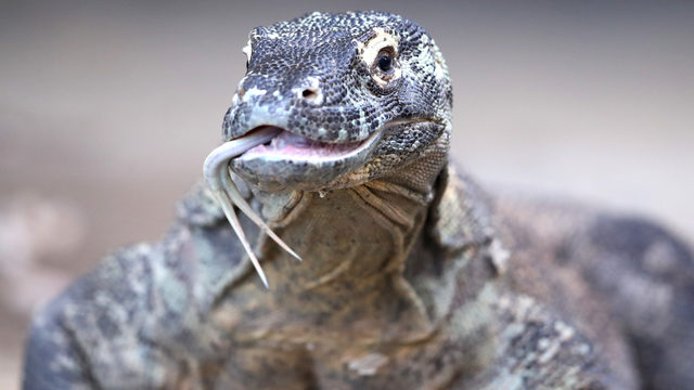 We need to talk about the current situation with Komodo dragons