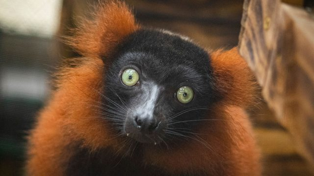 Endangered lemurs arrive at Brevard Zoo