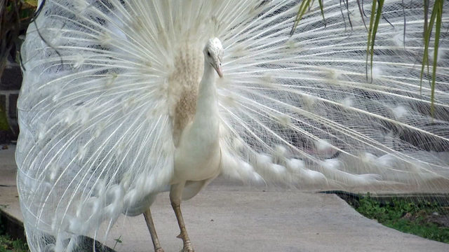 Dozens of peacocks in Palm Bay neighborhood to be relocated after complaint