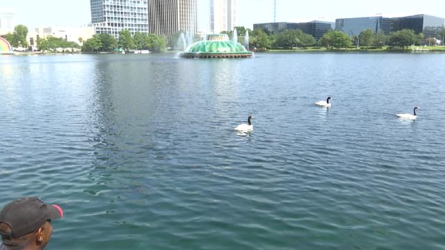 Will rose petals lead the way to swan love at Lake Eola?