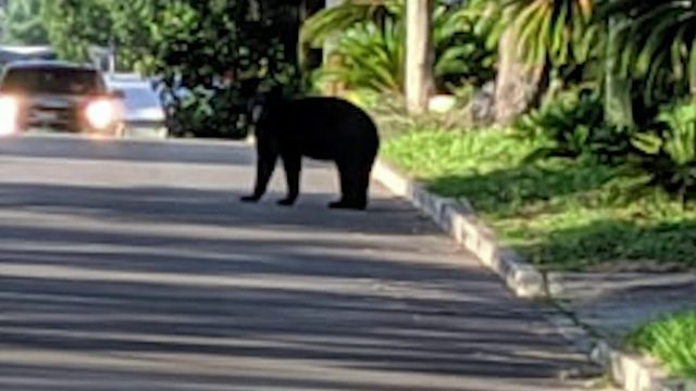 Bears hit, killed in Central Florida