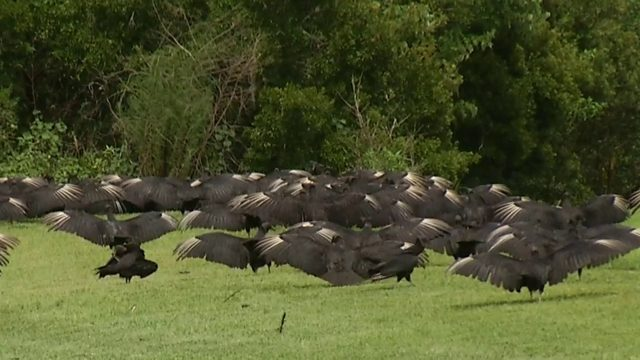 HOA attempts to solve vulture problem in east Orange County neighborhood