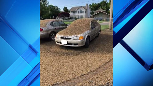 Mayflies cover car in Northeast Ohio