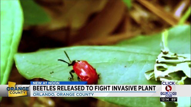 Beetles help combat potato vines growing in Orlando