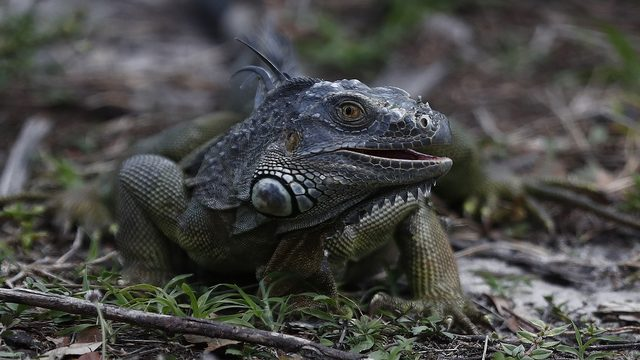 It's legal to kill invasive iguanas in Florida, FWC says