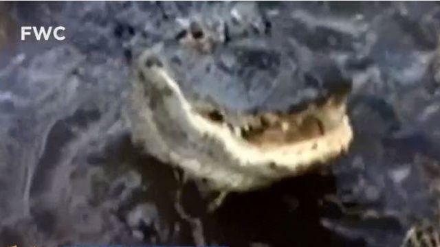'He lets me pet him:' Video shows Daytona Beach man feeding large gator