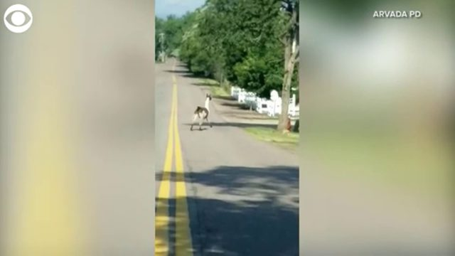 Police called to respond to llamas on the loose