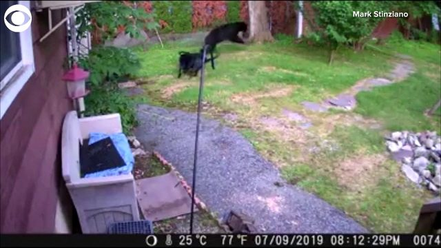 Dog chases bear from neighbor's yard