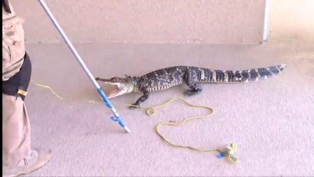 Gator caught on second floor of apartment