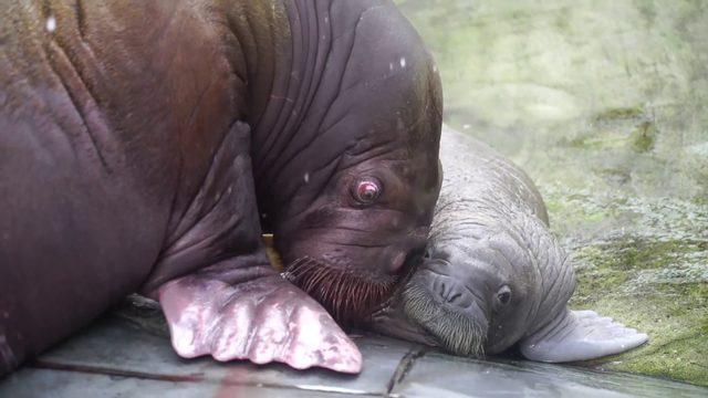 SeaWorld Orlando welcomes 150-pound walrus born