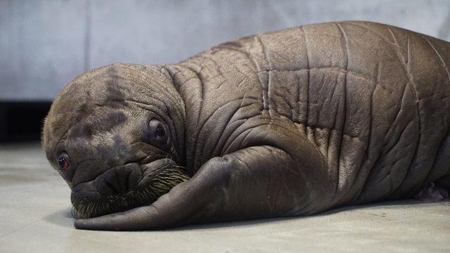 Cute alert: 150-pound walrus born at SeaWorld Orlando