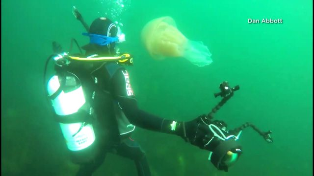 Giant jellyfish swims off English coast