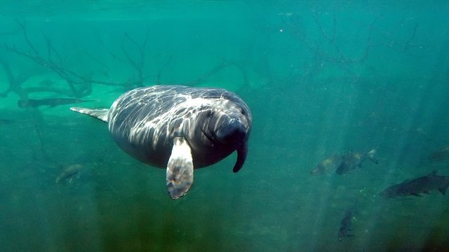 Here's how Florida wildlife officials plan to keep manatees safe