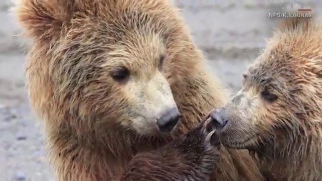 One bear shushes another by putting paw over its mouth